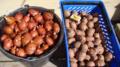 Описание сорта картофеля Рябинушка