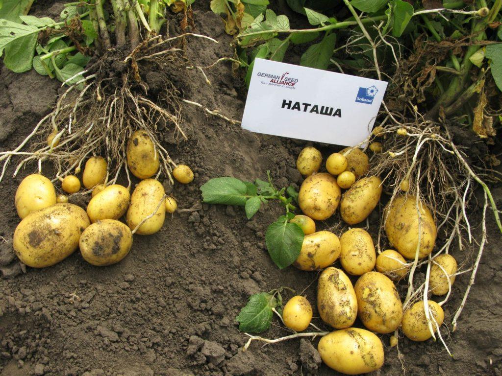 картофель наташа