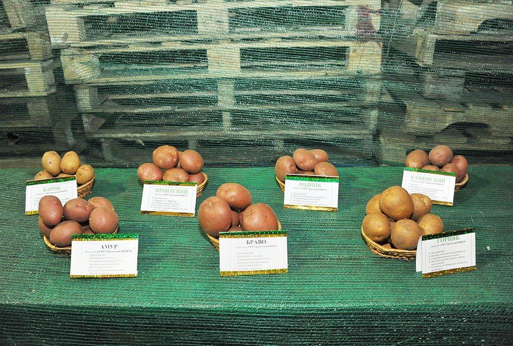 картофель горняк
