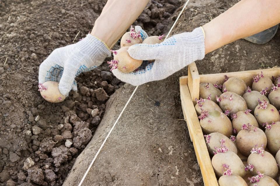 Описание сорта картофеля Сынок