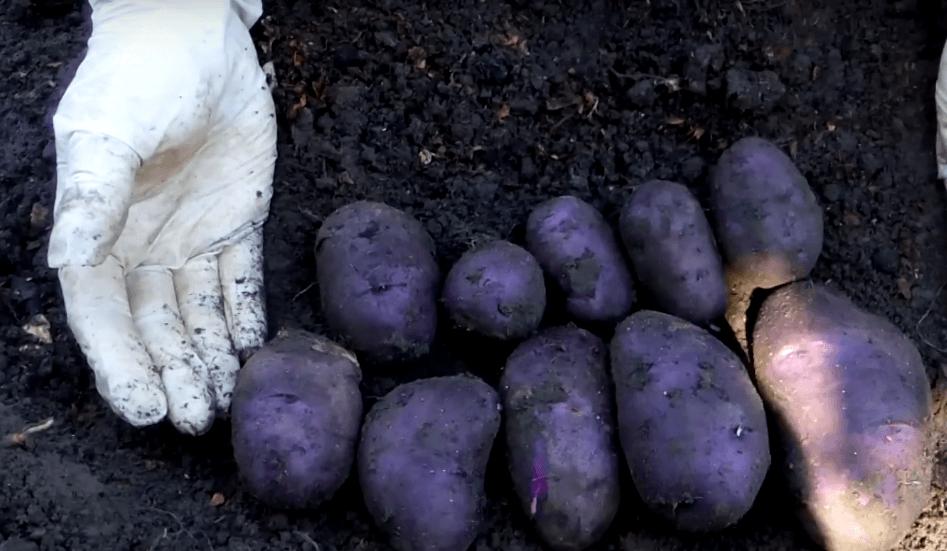 картофель василек