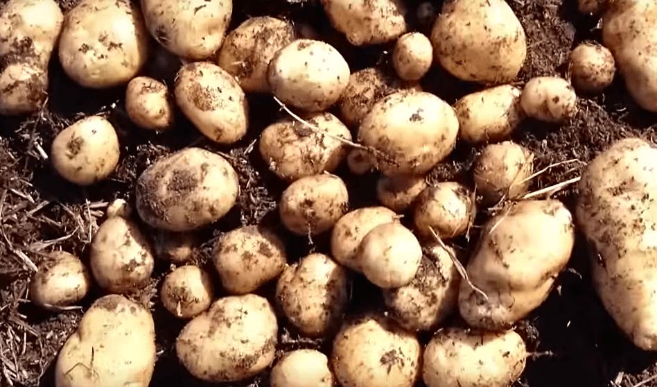 картофель никулинский
