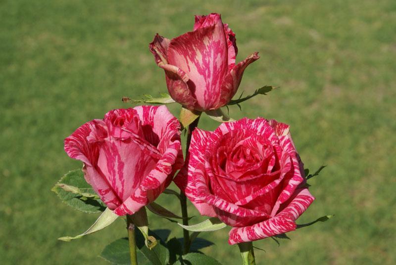 Описание розы Пинк Интуишн