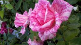 роза Пинк Интуишн