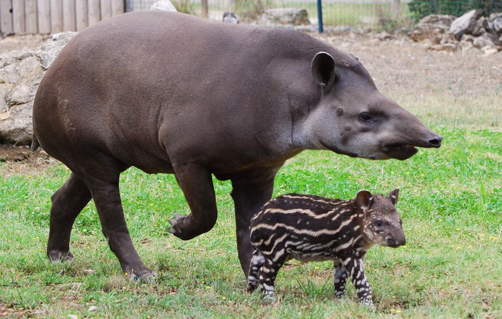 Бразильский (равнинный) тапир