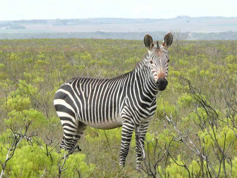 Горная зебра