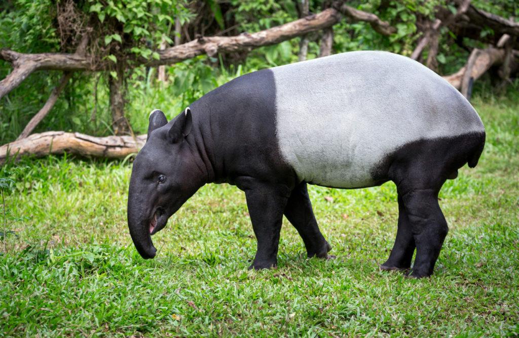 Малайский тапир