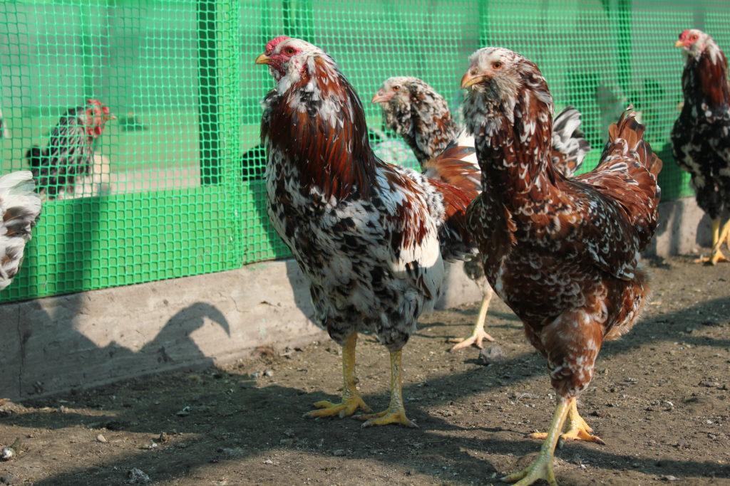 Орловская ситцевая порода кур