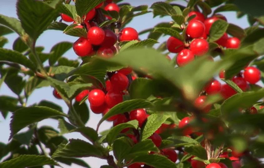 Войлочная вишня Натали