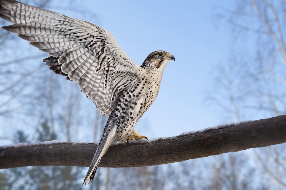 Хищные птицы сибири картинки и названия