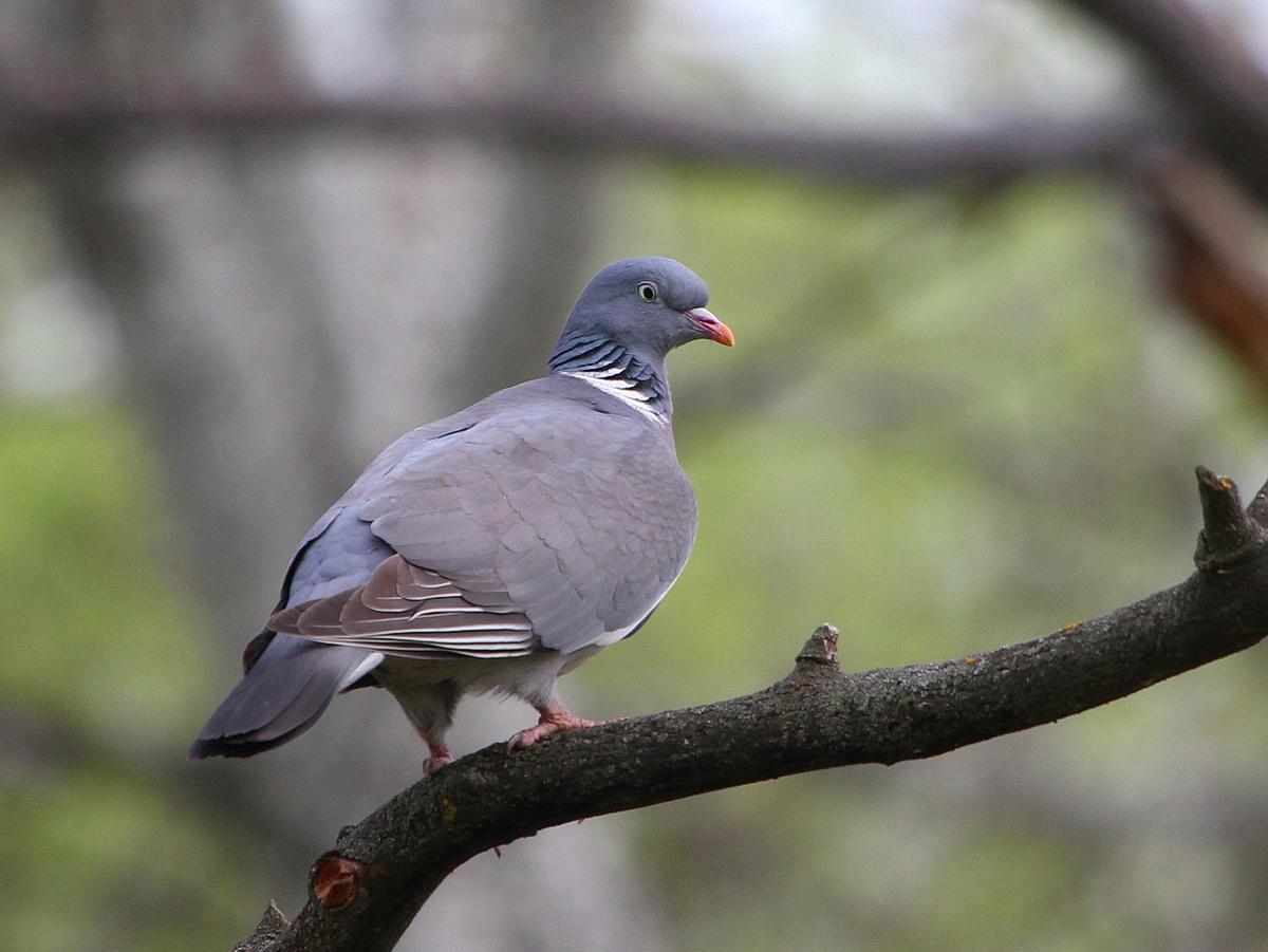 голубь фото птицы размеры широкоформатные бесплатные