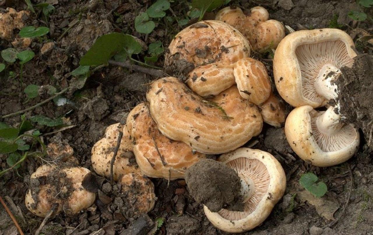 сети грибы для засолки фото и описание как использовать грифельную