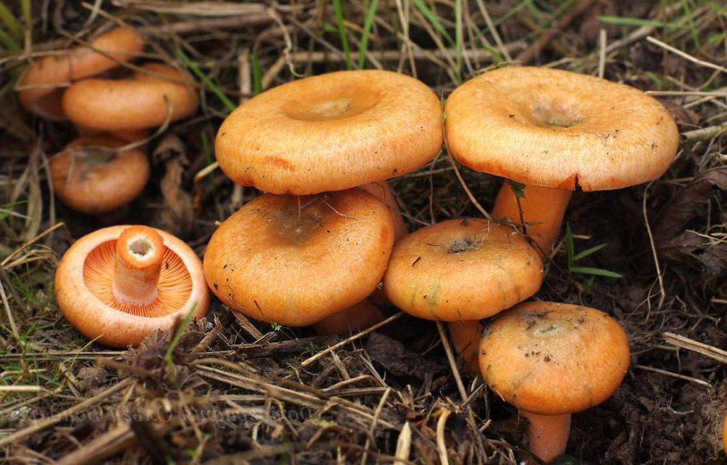 Съедобные грибы Самарской области