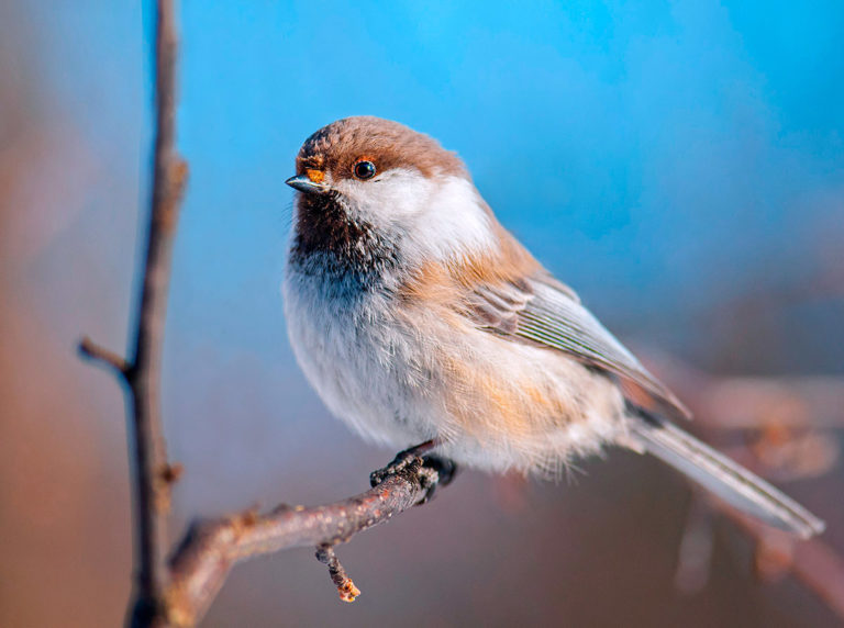 Картинка птичка гаечка