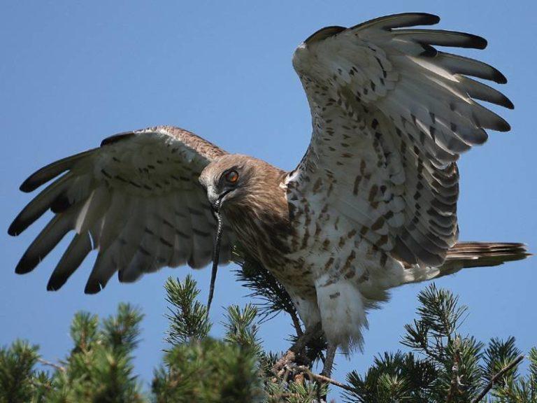 стоит пустить хищные птицы ленинградской области фото и названия когда она