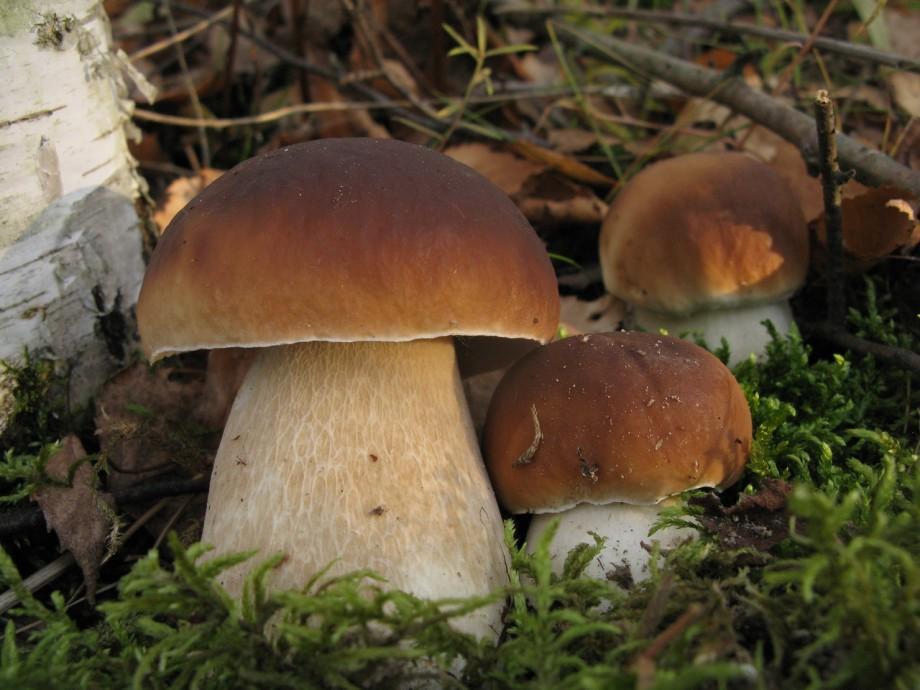 Белый гриб- описание, как выглядит, где растет, разновидности, фото и видео - «Как и Почему»