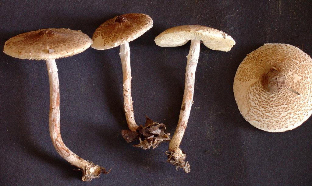 Описание гриба Пестрый зонтик