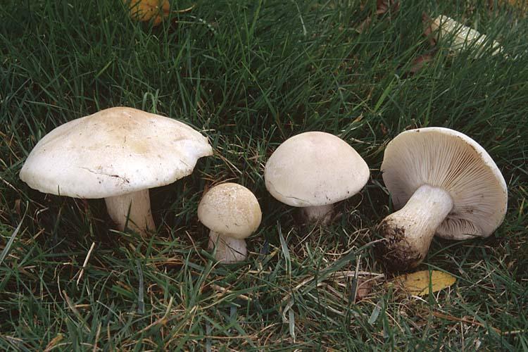 Описание гриба рядовка фиолетовая