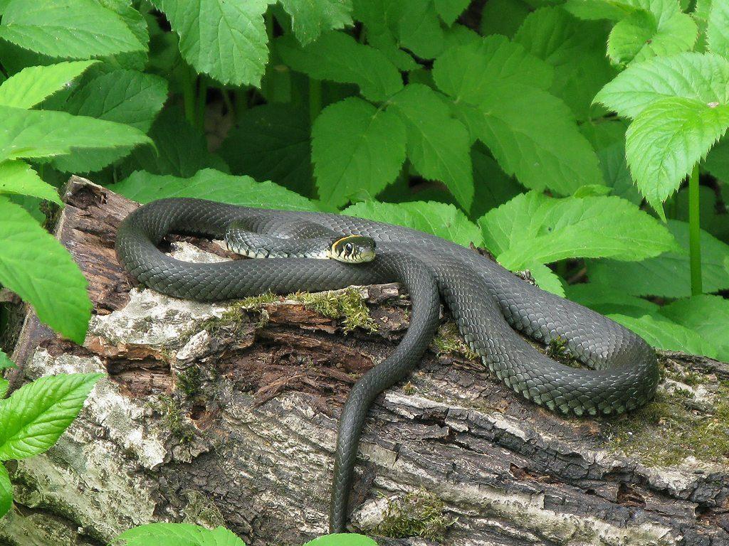 зеленые змеи подмосковья фото и описание ночь накроет тебя