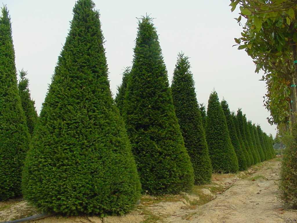 Кипарис фото дерева часть партизан