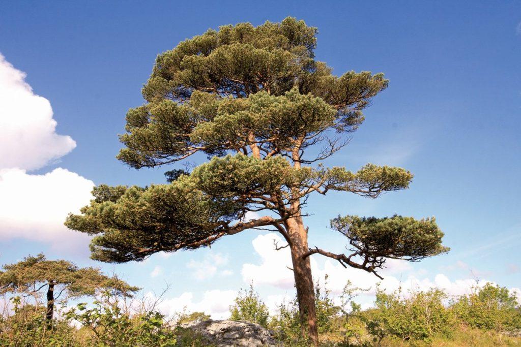 Список хвойных деревьев с названием и фотографиями