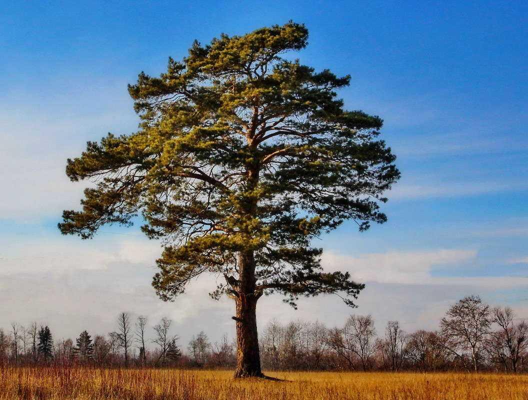 фотография соснового дерева цветы можно нарисовать